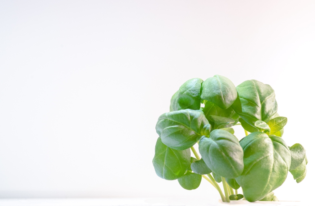 Basil plant taking the lower right quarter of an image that's otherwise a bright background.