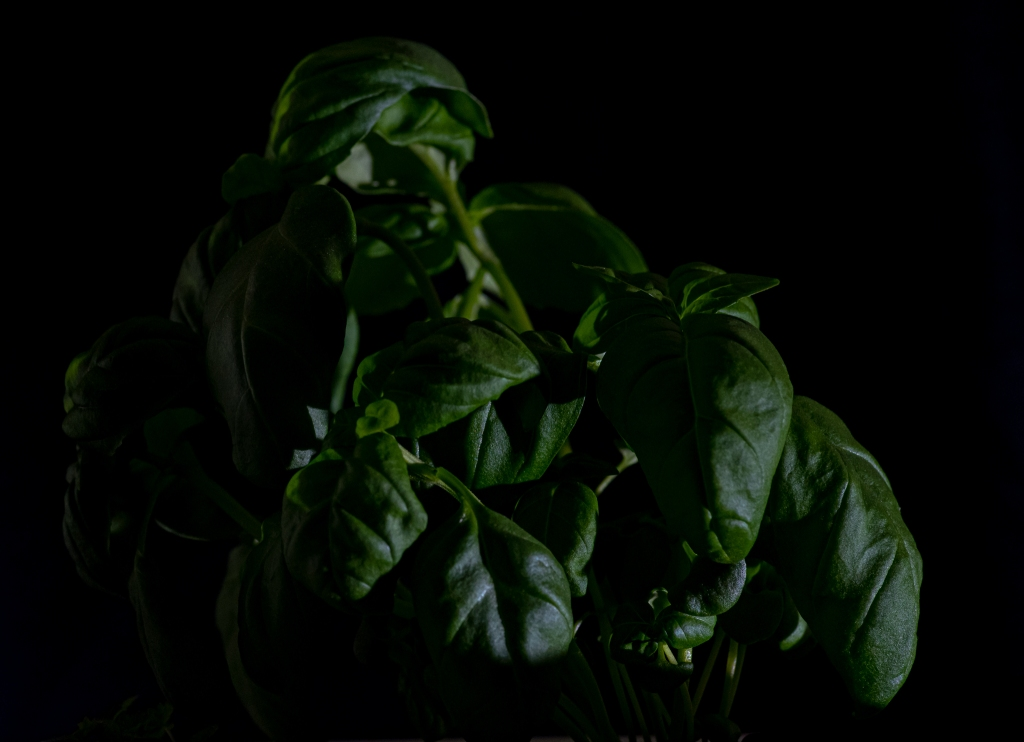 A plant of basil, shot with very little light in front of a dark background.